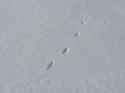 Red Fox - tracks