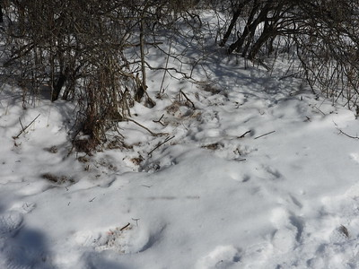 White-tailed Deer - kill site