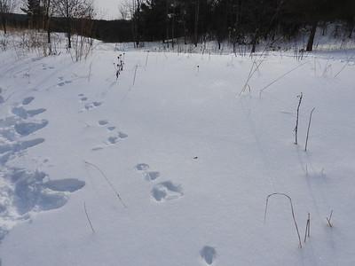 European Hare - tracks and trail