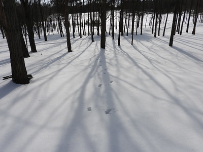 White-tailed Deer - tracks and trail