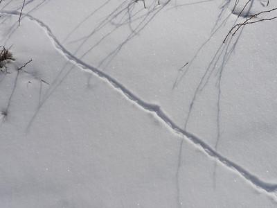 Northern Short-tailed Shrew - tracks & trail