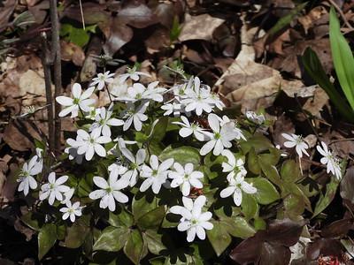 Sharp-lobed Hepatica (Anemone acutiloba)