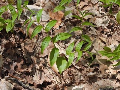 Rose Twisted Stalk (Streptopus lanceolatus)