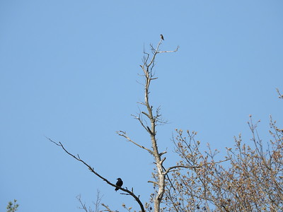 Olive-sided Flycatcher (top of tree, American Crow below)