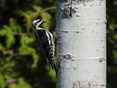 Yellow-bellied Sapsucker - male