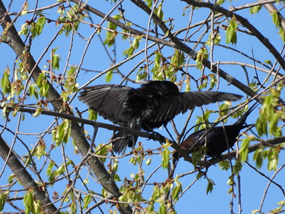 Brown-headed Cowbird - males