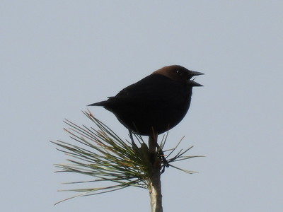 Brown-headed Cowbird - male