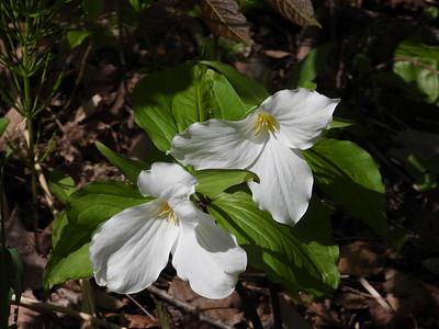 Large White Trillium (Trillium grandiflorum)