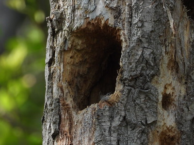 Northern Flicker- nest cavity, adult bird was seen briefly at entrance to cavity