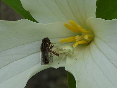 Goldenrod Crab Spider (Misumena vatia) - this spider will ambush insects from within the Trillium flower