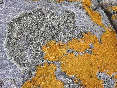Lichen sp (not orange)