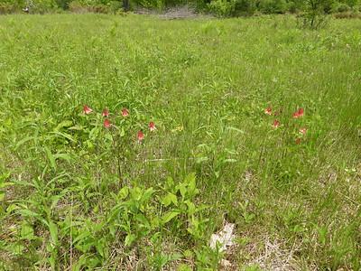Red Columbine (Aquilegia canadensis)
