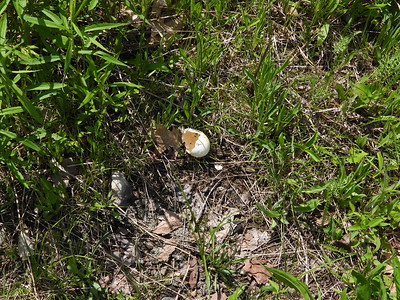Wild Turkey - egg, located in middle of meadow with no sign of nest, possible egg predation?