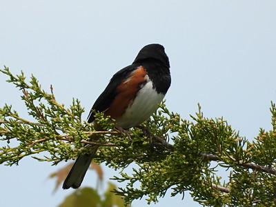 Eastern Towhee - male