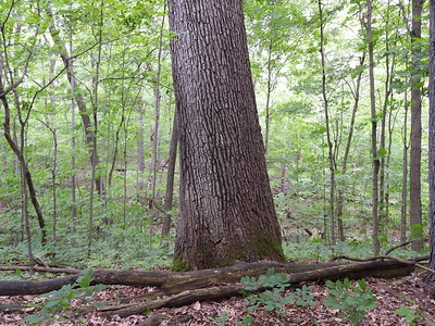 Old growth White Oak