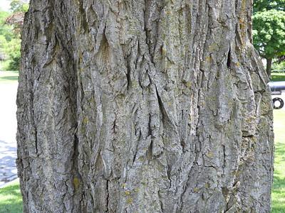 Eastern Black Walnut (Juglans nigra)