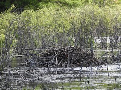 Beaver - lodge