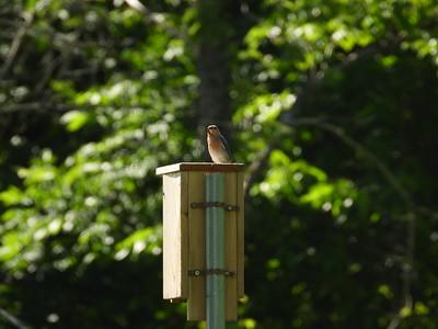 Eastern Bluebird - female