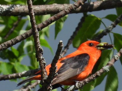 Scarlet Tanager - male