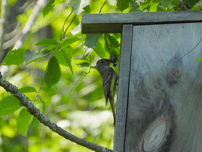 Great Crested Flycatcher - nest building in nest box