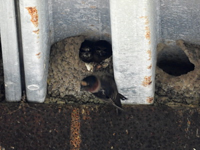 Cliff Swallow - nests
