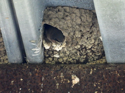 Cliff Swallow - nest