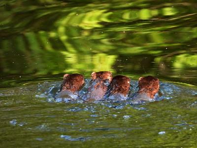 American Mink - juveniles