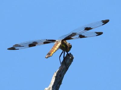 Twelve-spotted Skimmer (Libellula pulchella) - female