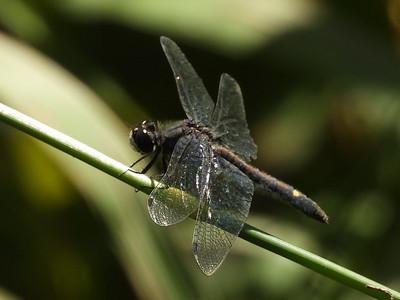 Dot-tailed Whiteface (Leucorrhinia intacta)
