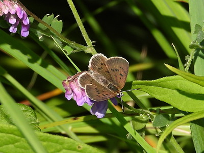 Bog Copper (Lycaena epixanthe) - female