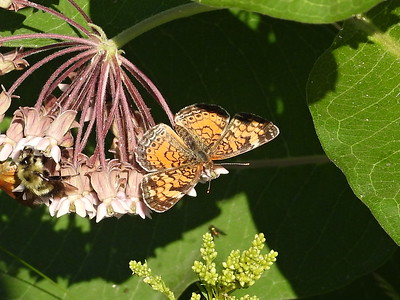 Northern Crescent (Phyciodes cocyta) - female
