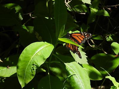 Monarch - on Common Milkweed