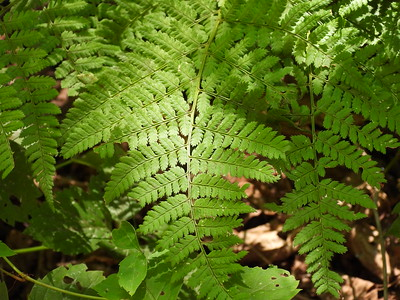 Spinulose Wood Fern (Dryopteris carthusiana)