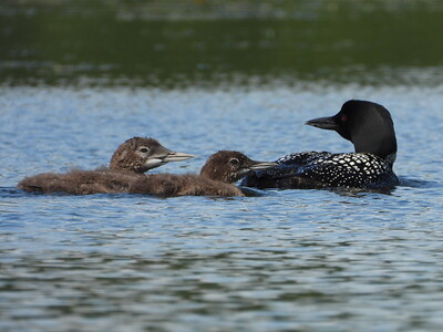 Common Loon - adult with two chicks