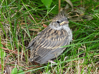 Chipping Sparrow - fledgling