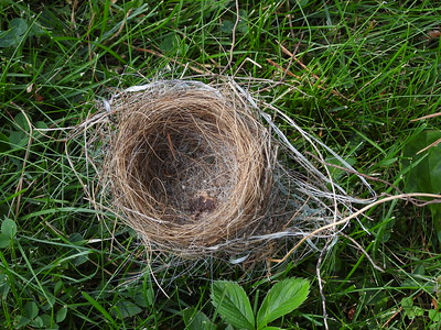 Chipping Sparrow - nest