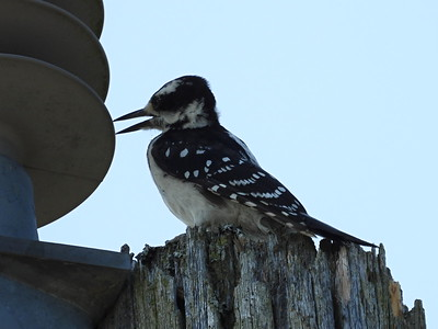 Hairy Woodpecker - female, here shown pecking at a primary insulator while searching for food
