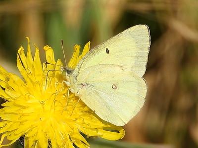 Clouded Sulphur (Colias philodice) - white form female