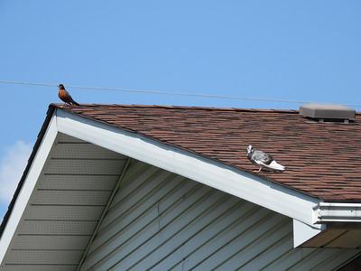 American Robin & Rock Pigeon