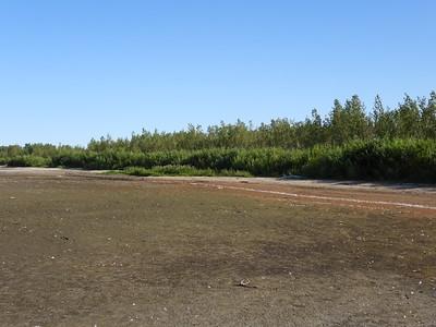 Mudflat along beach with several shorebirds feeding on invertebrates