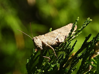 Carolina Grasshopper (Dissosteira carolina)