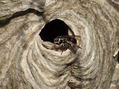 Bald-faced Hornet (Dolichovespula maculata)
