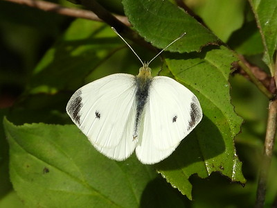 Cabbage White (Pieris rapae)