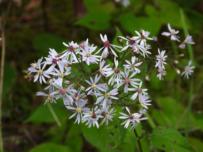 Common Blue Wood Aster (Symphyotrichum cordifolium) - also known as Heart-leaved Aster