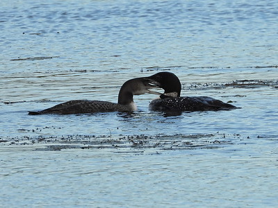 Common Loon - adult and 3 month old juvenile