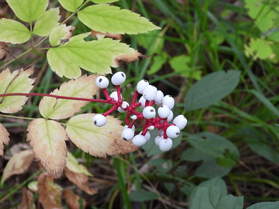 White Baneberry (Actaea pachypoda) - also known as Doll's Eyes