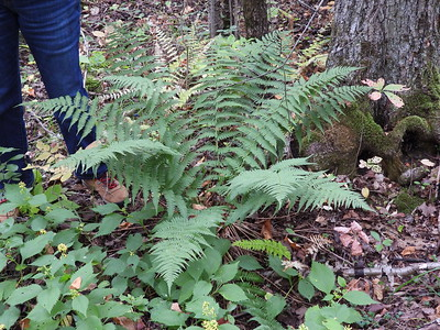 Marginal Wood Fern (Dryopteris marginalis)