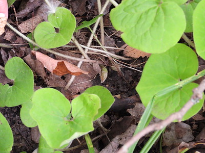 Canadian Wild Ginger (Asarum canadense)