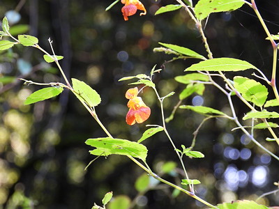 Common Jewelweed (Impatiens capensis)