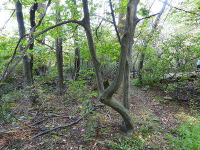 American Hornbeam (Carpinus caroliniana) - also known as Musclewood or Blue Beech